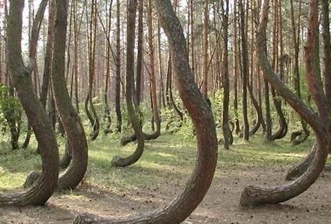 贵州最奇特的松树林,松树全弯着生长,游客:怎么这么多问号?