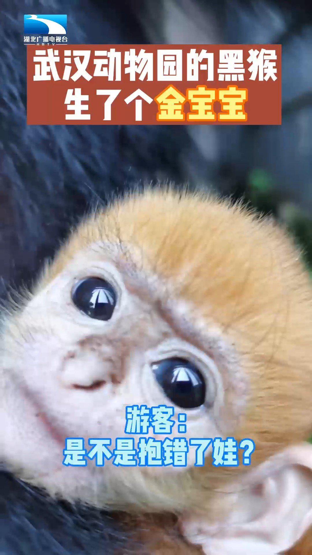 武汉动物园的黑猴生了个金宝宝 ,游客:是不是抱错了娃?