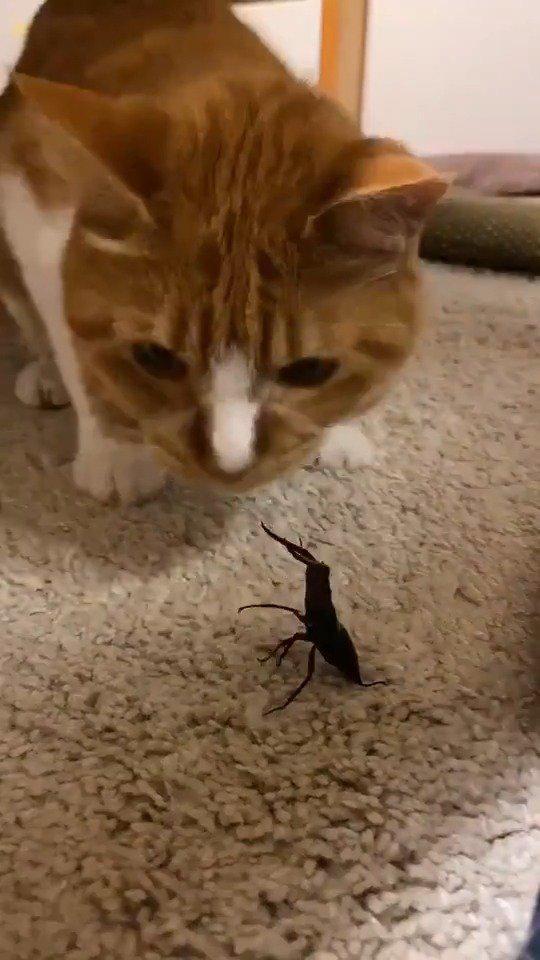 趣闻:猫猫大战锹形虫。 Twi:野村真一郎