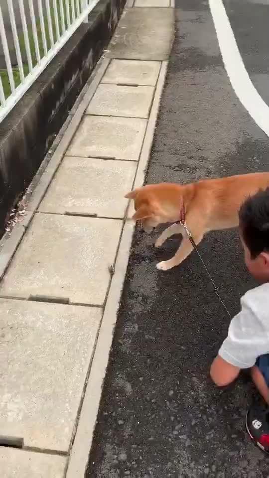 趣闻:当一只超音速柴犬在散步中遇上一只装死的知了