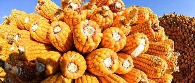 湖北新玉米陆续上市 欧盟恢复玉米高粱进口零关税