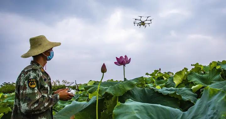 无人机助力太空莲防病虫害作业