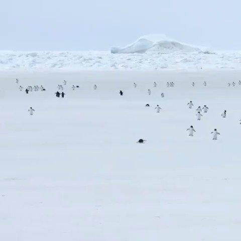 5倍速下的企鹅海冰上行走,哈哈哈哈全都像是发条玩具机器人🐧……