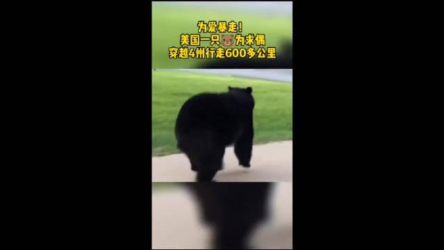 为爱暴走!美国一只黑熊为求偶,穿越4州行走600多公里!