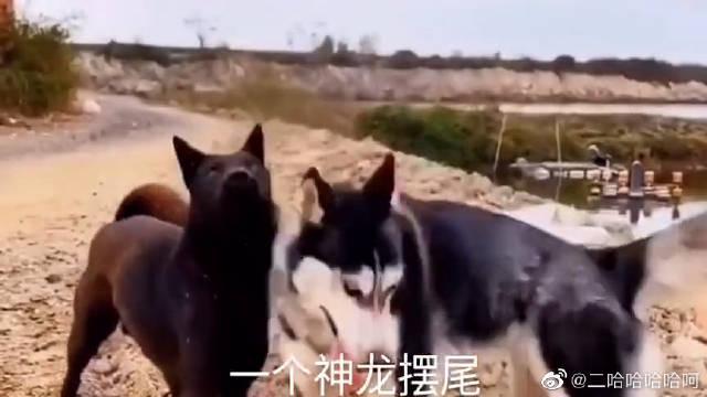 二哈使出武林绝学大战农村土狗,看到神龙摆尾时,我笑了!