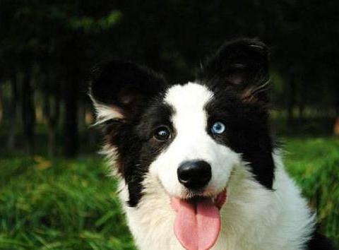 狗狗咳嗽是怎么回事