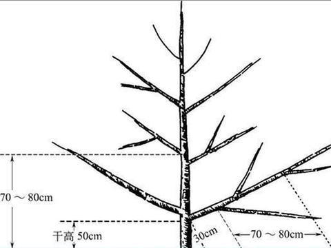 苹果树栽培技术 苹果树小冠疏层形整形修剪技术