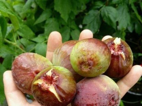 阳台种果树,就种无花果,注意3个小技巧,拳头大的果实冒不停