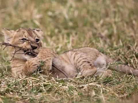 幼狮在一旁玩耍, 突见两伙伴打架, 随后连忙上前阻止