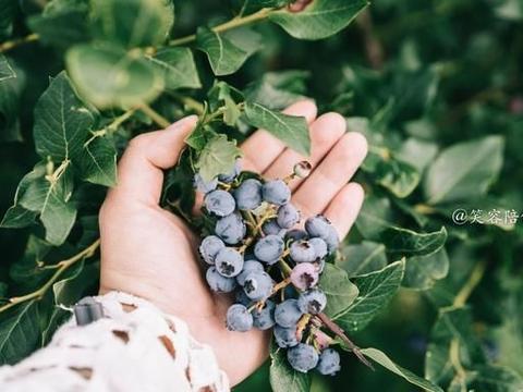 云南有个蓝莓园,30元入园管吃饱,游客:还要再来