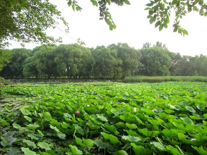 庚子年端午节前南湖赏荷(1)5号门区荷塘和水生植物园荷塘