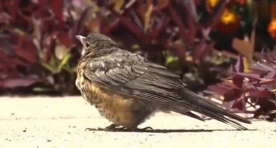 人类第一次拍到鸟类自然死亡镜头。它变成了一只什么样的天使呢