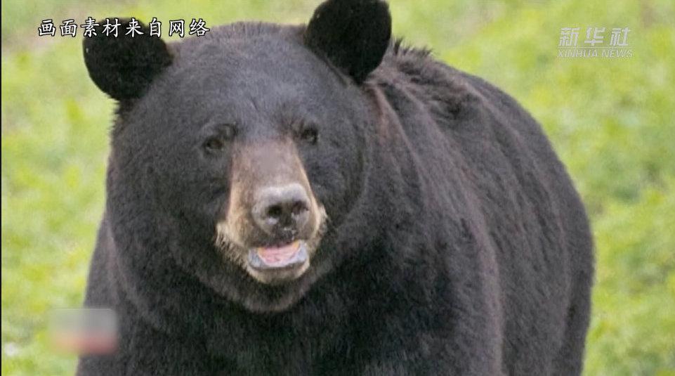 美国一头黑熊跨州求偶成网红