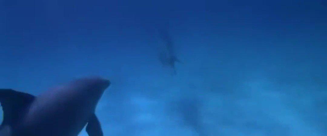 海豚大战暴击双髻鲨之后,一招神龙摆尾成功救主