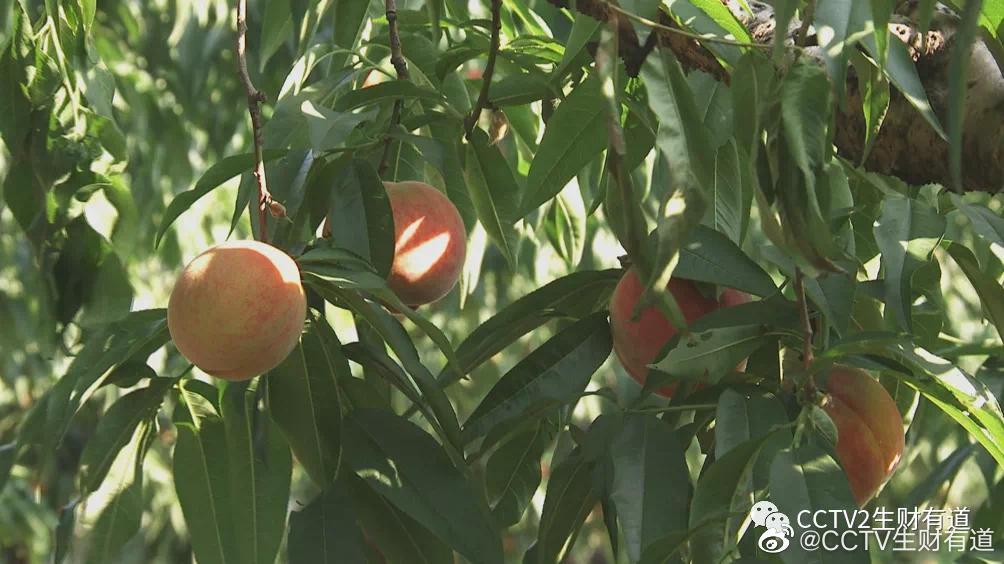 水蜜桃是我国最古老的果树之一。江苏省无锡市的阳山镇……