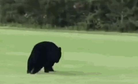 美一头黑熊独自旅行,徒步穿过数州超650公里,专家:在寻找伴侣