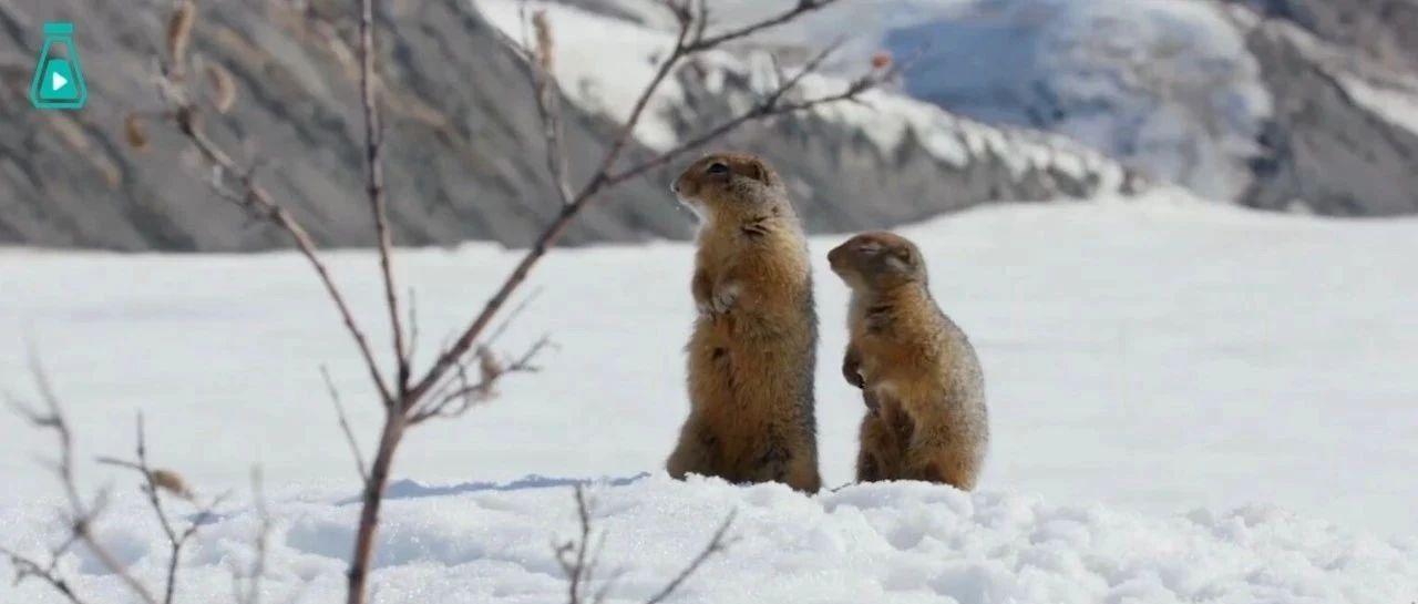 从冬眠中苏醒的北极地松鼠,几小只凑在一起,也太可爱了