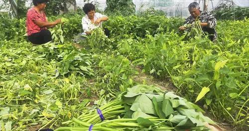 睢阳区古宋办事处古宋村菜农在收获蔬菜