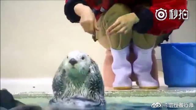 日本鸟羽水族馆的海獭,一举一动都超可爱啊!哈哈哈萌翻了