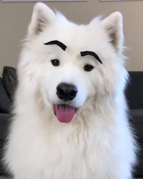 如果萨摩耶有眉毛,会是什么样子?