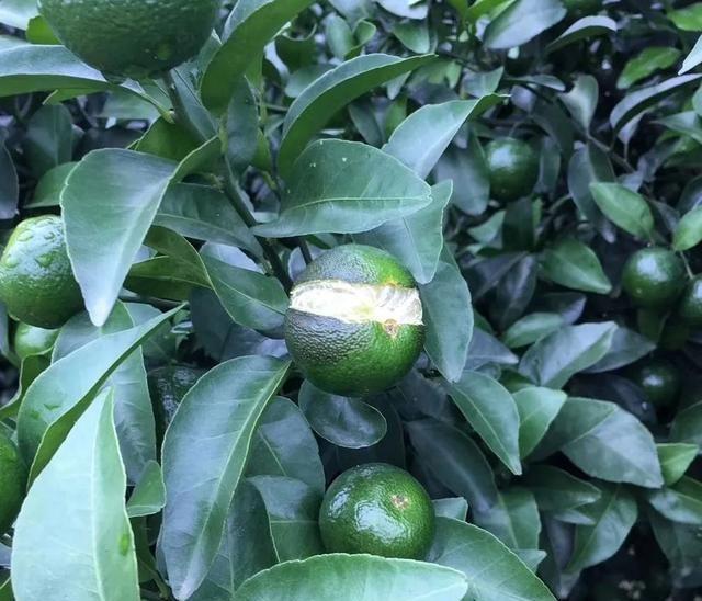 柑橘为何裂果那么严重?