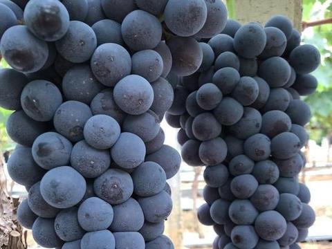 山东沂水黑提葡萄高产栽培技术