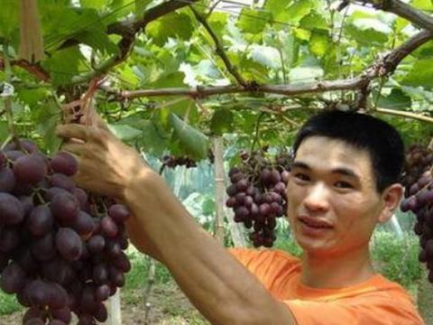 农民种葡萄树时,为什么要埋上一块猪肉?果农当面解释清楚了