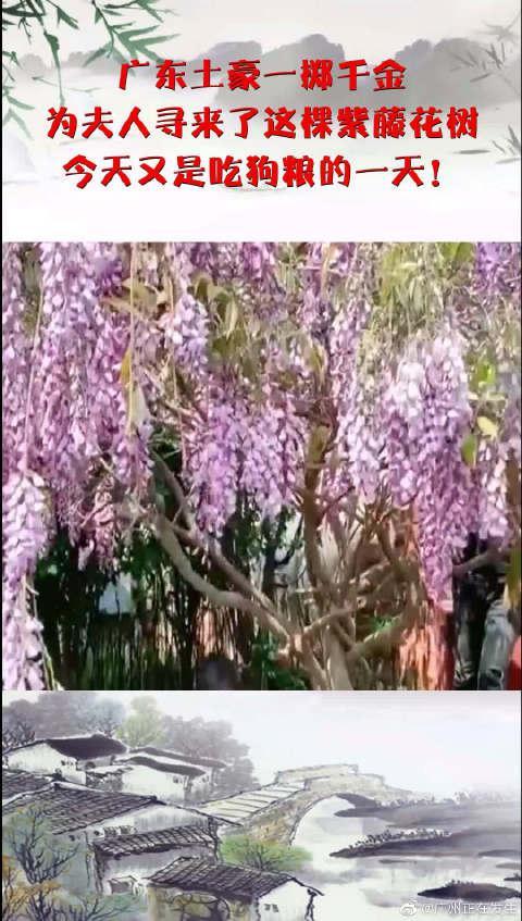 广东土豪一掷千金,为夫人寻来了这棵紫藤花树……