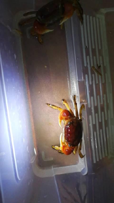 相手蟹孵化蟹苗了,就是封面这个螃蟹孵化的