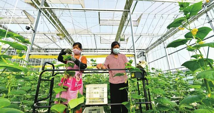 聊城茌平区贾寨镇耿店村引进无土栽培技术
