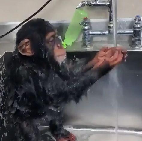 大猩猩怕热爱洗澡,模仿人类洗脸惟妙惟肖,网友看了颇有感触