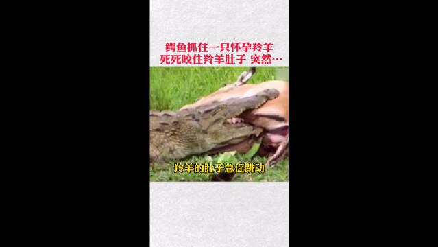 怀孕的羚羊被鳄鱼抓住,鳄鱼嘴死死咬住羚羊肚子,肚子急促跳动……
