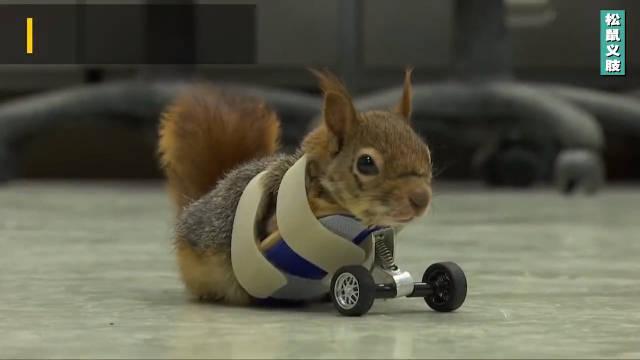 轮式义肢助力残疾小松鼠恢复生活!身残志坚的乐观小可爱!