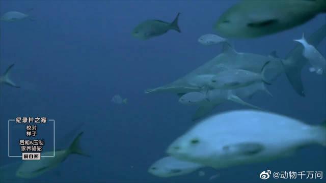 一只双髻鲨就已经很恐怖了,这么成百上千的集群简直吓人!