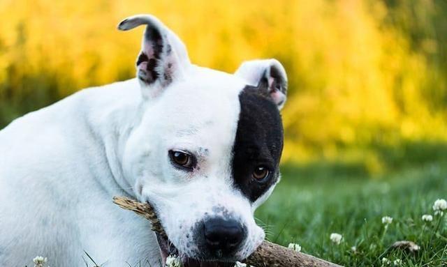 罗威纳犬能击败比特犬吗?从体型、咬合力、智商来看