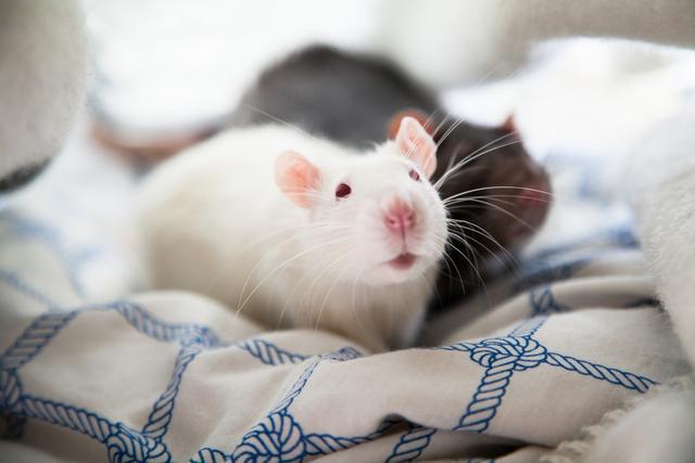 买了只小白鼠,忘关笼子不见了,在客厅找到后,被叼去侍寝了