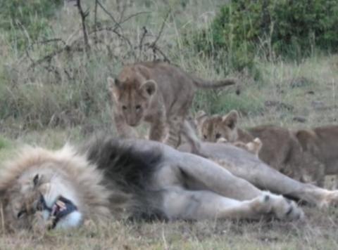 公狮午睡时惨被幼狮骚扰,明明龇牙咧嘴却不敢打,带小孩真难!