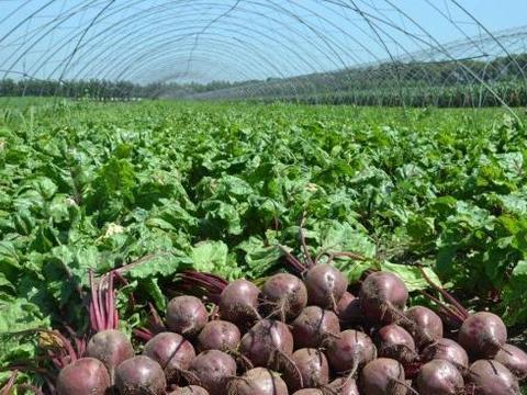 种植超1500年,常被错认成萝卜,但要比萝卜营养美味,却少有人吃