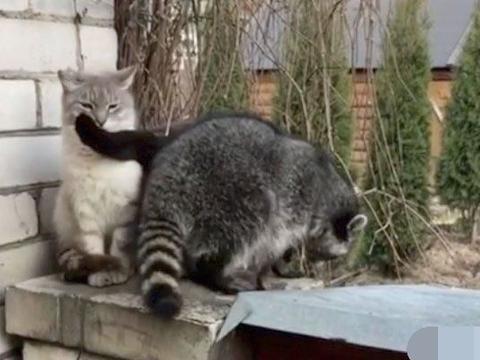 小浣熊欲向猫咪表白,刚鼓起勇气却反遭一掌,主人笑弯了腰
