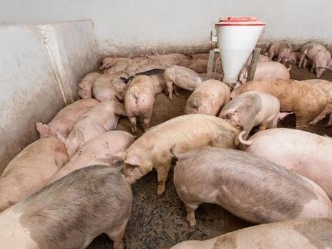 20000吨储备肉,36.9亿生猪奖励,猪价承压一片绿,要开始跌了?