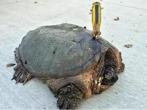 龟壳上长了把螺丝刀 ,被救助后还发现它眼睛被戳瞎