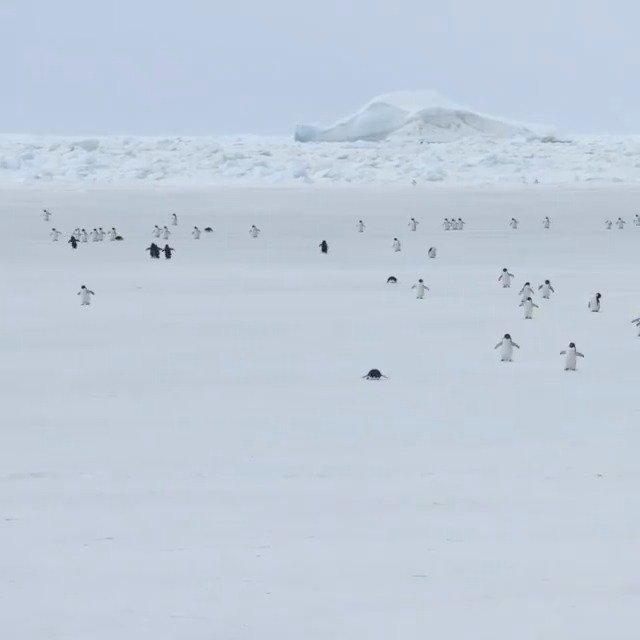 5倍速下的企鹅海冰上行走,哈哈哈哈全都像是发条玩具机器人……