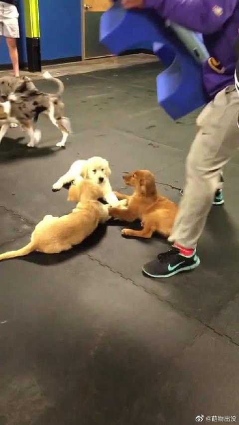 别的狗子都在玩耍,这三只小金毛居然在躲起来牵手手