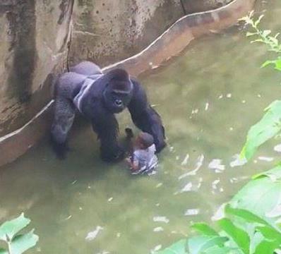 小男孩不慎掉入黑猩猩领地, 黑猩猩爬过来后的做法让人紧张