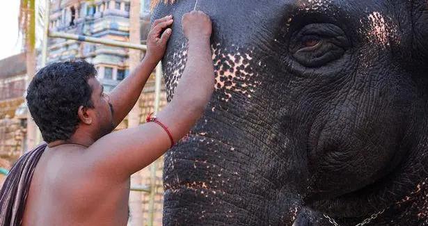 """印度寺庙""""波波头""""大象因像动画角色走红,每天要做美容美发护理"""