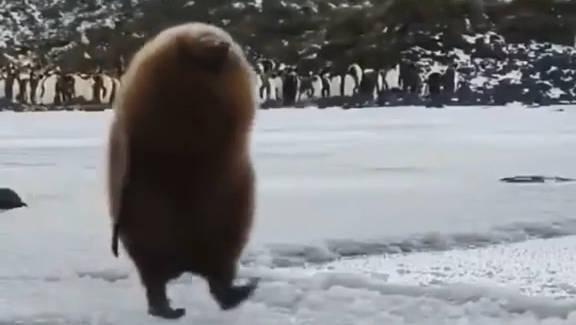 胎毛未褪的王企鹅宝宝,像极了行走的猕猴桃!