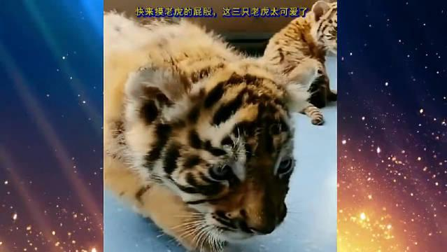 快来摸老虎的屁股,这三只老虎太可爱了