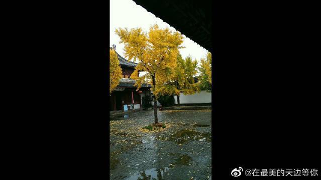 苏州北寺塔,这个时候真是银杏的最佳观赏时节