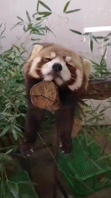 野生动物园的小熊猫躺在树干上打瞌睡……
