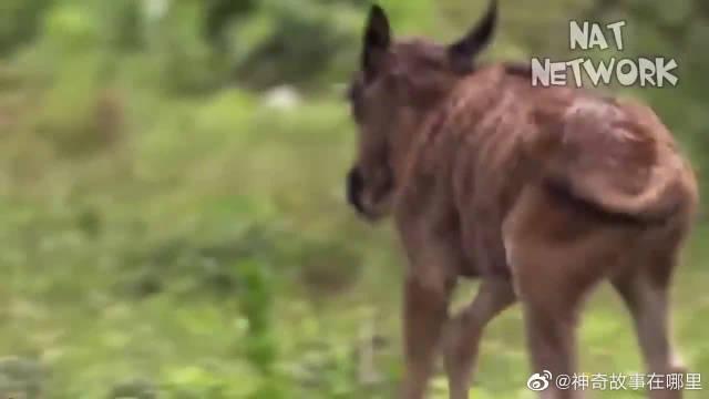 动物界的残暴斗争,角马为保护幼崽与猎豹殊死搏斗!